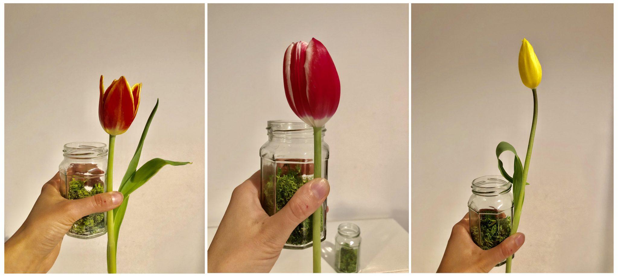9_misura lunghezza tulipani